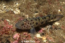Lesser Spotted Goby by Mike Clark 